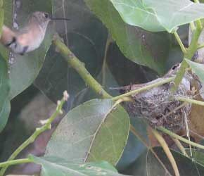 Mate Visits While in Nest