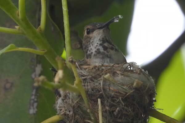 Hummingbird Building Its Nest
